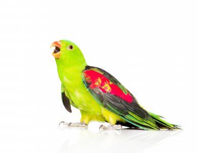 与缤纷的翅膀,在白色背景上的绿色鹦鹉