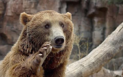 熊挥动他的爪子