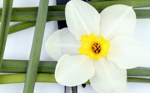 白色的水仙
