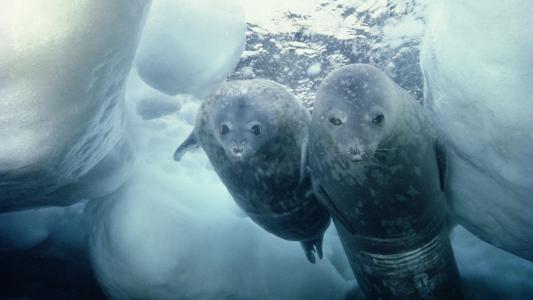 皮毛海豹陷入冰洞