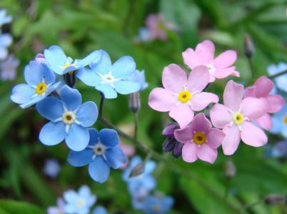 勿忘我美丽的春天的花朵