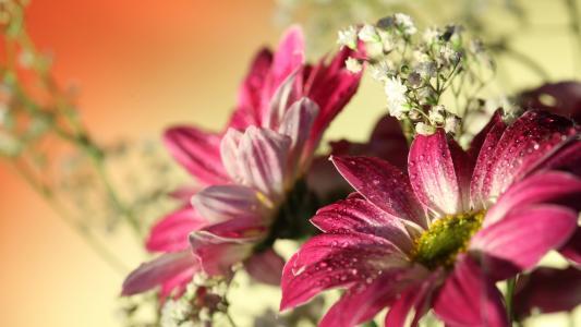 与下落的红色非洲菊