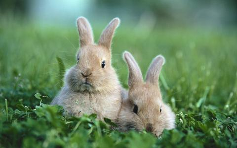 兔子在草地上