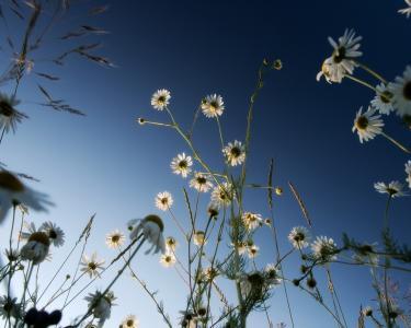 雏菊在蓝天