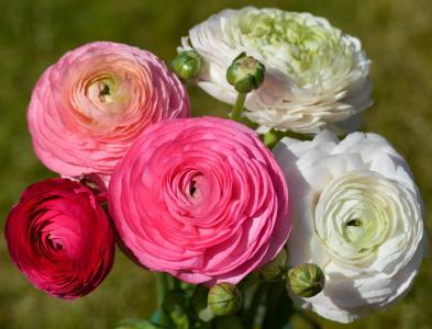 白色和粉红色的美丽毛茛特写