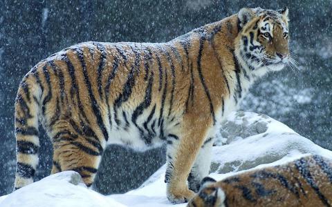 雪在老虎的背上
