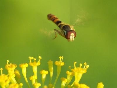 苍蝇飞过花朵