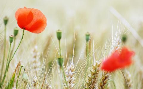 在麦田的罂粟花