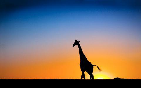 在日落时的长颈鹿在博茨瓦纳