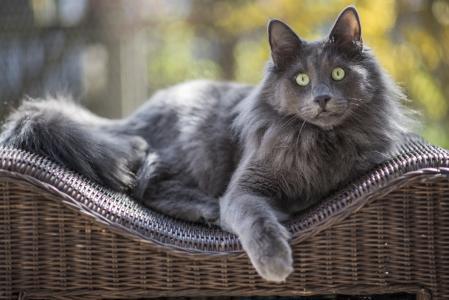 一只大绿眼睛的灰猫躺在椅子的后面