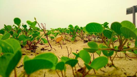 莲花生长在沙滩上