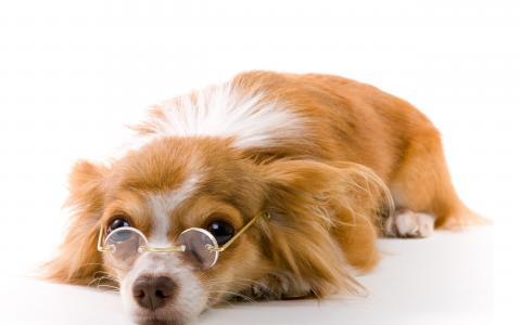 一只戴着眼镜的狗