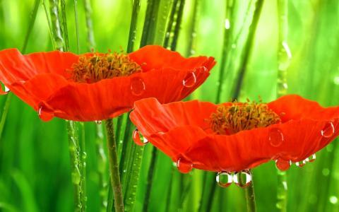 在雨中的红色罂粟花