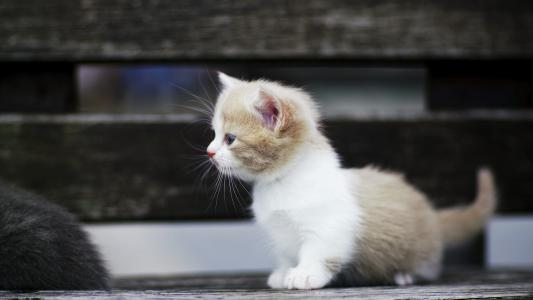一个有点小滑稽的短鼻小猫
