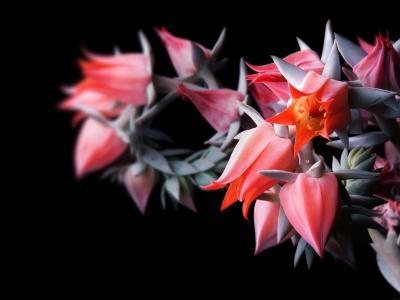 黑色的花朵