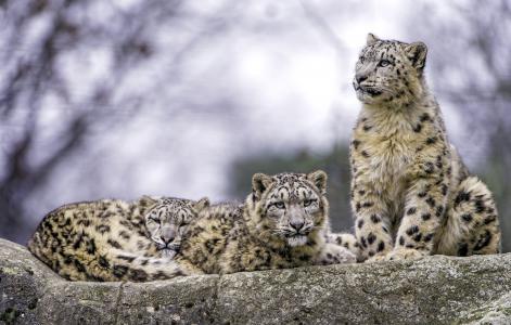 雪豹的家庭在石头上休息