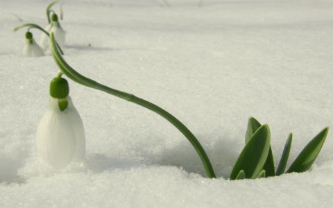 美丽的雪花莲在雪地里
