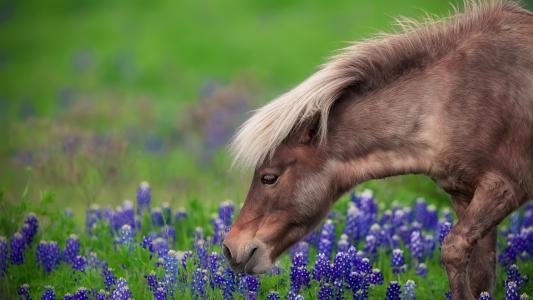 一匹棕色的马走着蓝色的花朵
