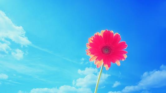 美丽的粉红色雏菊花蓝蓝的天空背景上