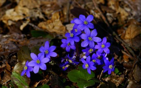 在干燥的叶子的小蓝色花