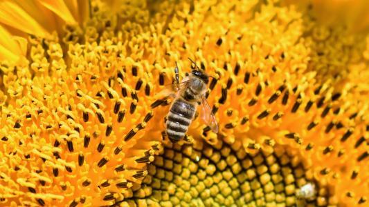 勤劳的蜜蜂采花蜜