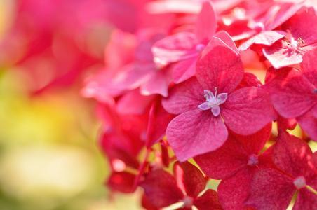 红色美丽的八仙花属花特写镜头