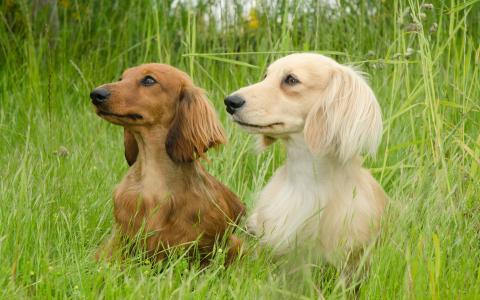 夫妇腊肠犬散步