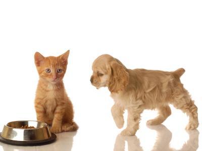 美国可卡犬和红色的猫