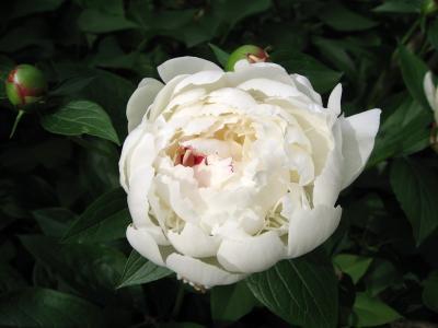 美丽的白色牡丹