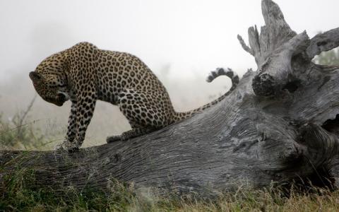 豹子把自己整理好