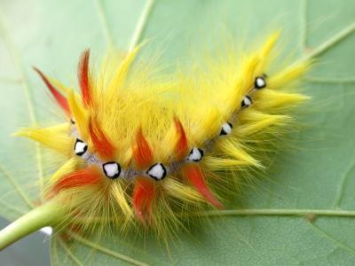 卡特彼勒昆虫