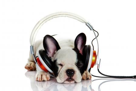 法国牛头犬的小狗与耳机的