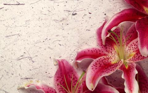 百合的环境,鲜花