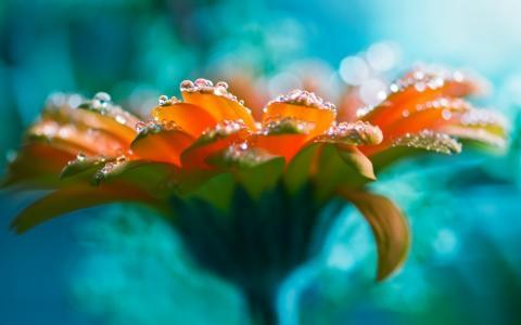 滴在橙花的花瓣上
