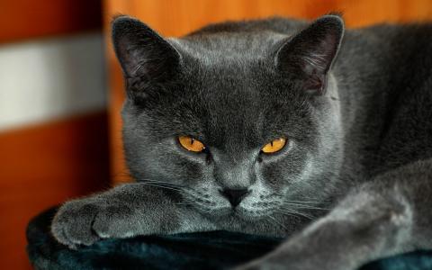 平静的英国猫