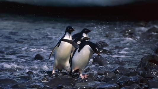 企鹅正在石头上奔跑