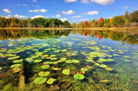 在湖的表面上的睡莲