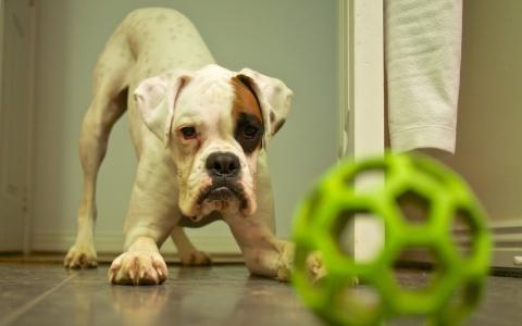 与绿色玩具的小狗