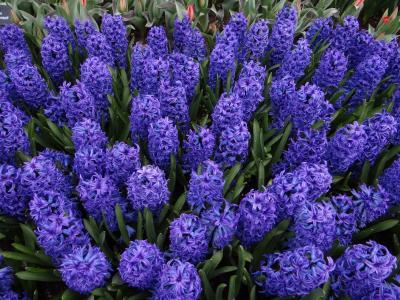 蓝色的花朵风信子花床特写