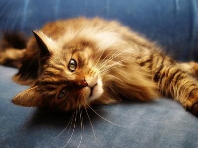 红猫缅因浣熊在蓝色的沙发上