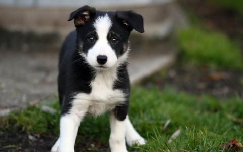 美丽的边境牧羊犬小狗走在草地上