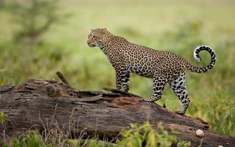 在日志上的豹子