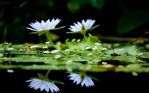 在水面上的莲花