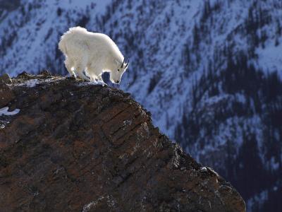 白山羊在山中