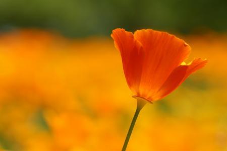 在领域的猩红色罂粟