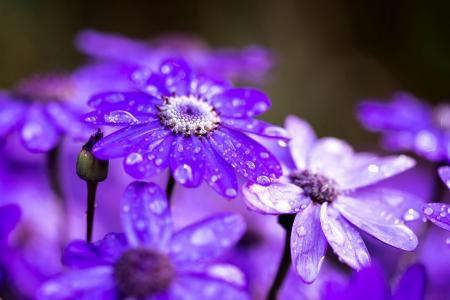 淡紫色庭院花在露珠