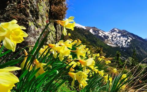在山上的水仙花