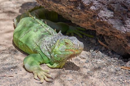 一只大绿鬣蜥在阳光下休息
