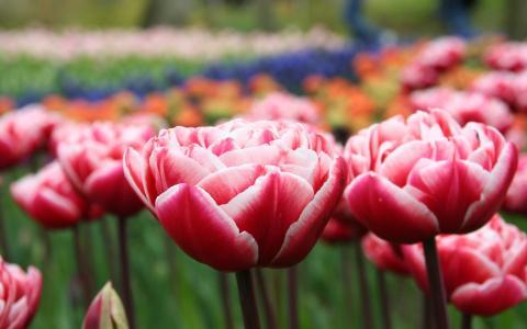 开花的郁金香