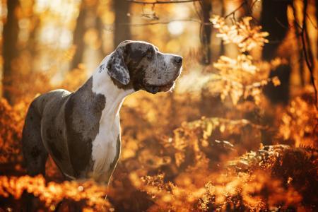 伟大的德国大丹犬走在秋天的森林